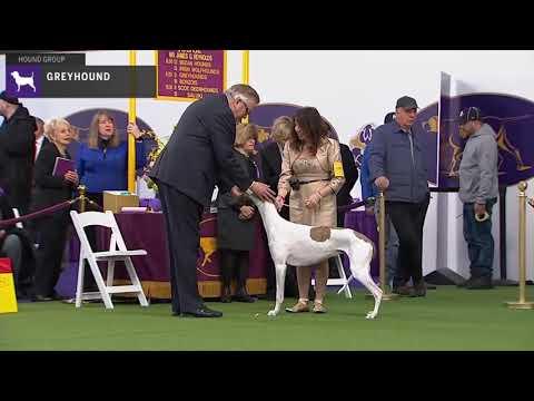 Greyhounds   Breed Judging 2020