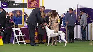 Greyhounds | Breed Judging 2020