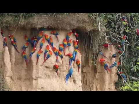 Scarlet, Red-and-green, and Blue-and-yellow Macaws at Rio Tambopata clay lick