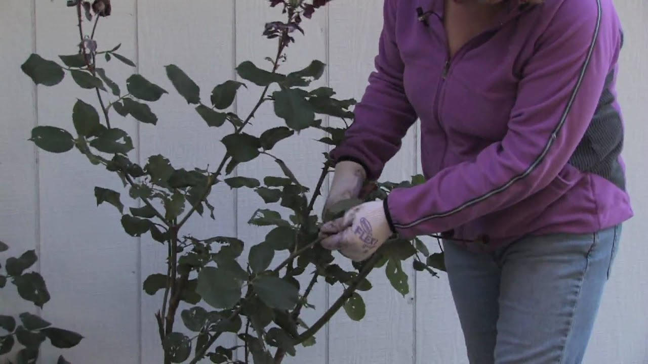 How to prune a rose bush - Plant Care Gardening How To Prune Climbing Roses For Winter Youtube
