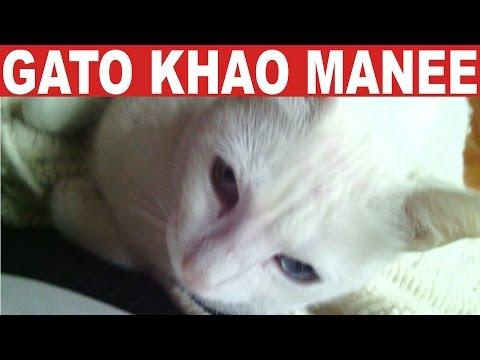 Gato raza Khao Manee | Tu Mascota TV