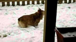 Corgi In The Snow Christmas Day