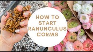 How To Pre- Sprout Ranunculus Corms | Planting Ranunculus | Ranunculus Bulbs | Flower Farming