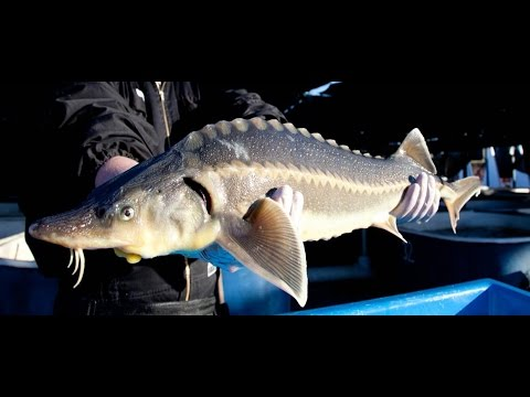 Sturgeon farming and caviar production in Uruguay