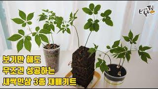새싹인삼 재배방법 새싹삼 수경재배 3종키트 재배법
