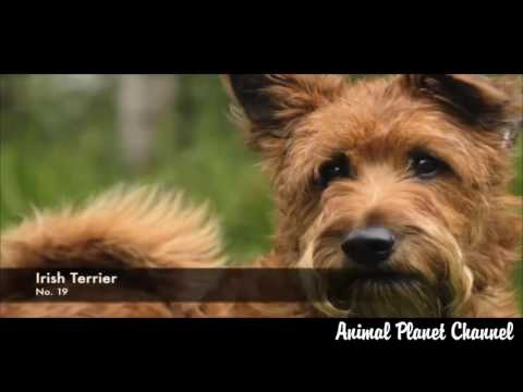 Dog Breeds   38 Breeds of Non Shedding Dogs   Animal Planet X Channel