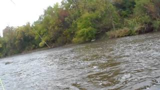 fighting a king salmon on a scientific angler s 7 wt fly rod