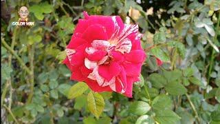 Chuyện lạ #7: Vườn Hồng Bến Tre, quán cafe nhiều hoa hồng nhất nhì Việt Nam ???
