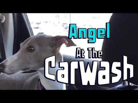 Angel Visits the Carwash (Italian Greyhound)