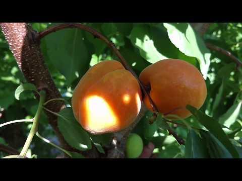 Вопрос: Как определить абрикос который созревает в пути?