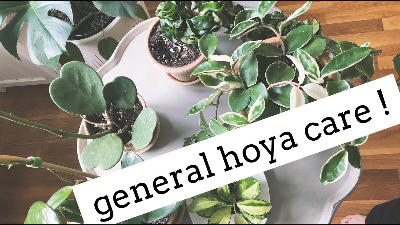 Hoya Plant Care Tips Easy Care House Plants Youtube