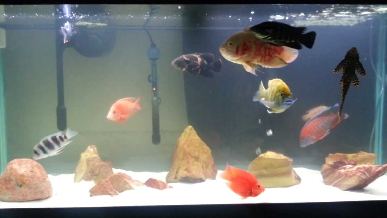 Freshwater fish cloudy eyes -