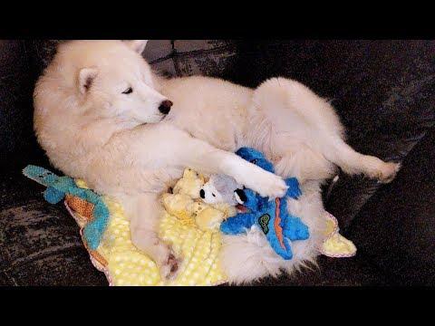 husky-really-wants-puppies