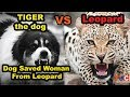 tiger the dog vs leopard dog saves woman from leopard tuc