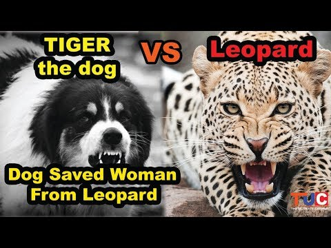 Tiger the Dog VS Leopard : Dog saves woman from leopard : TUC