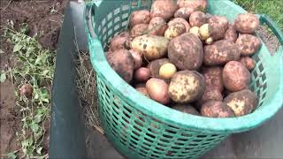 Kopanie ziemniaków - poprzeczniaków