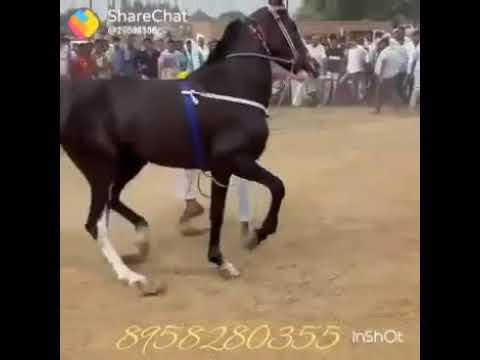 Chal chaliy pathankot nu horse dance