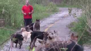 Nine Dogs Off Leash Walk  Man's Best Friend Dog Training