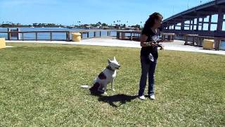 Deaf Dog Edward Off Leash Training Dogtra Remote Pager E Collar