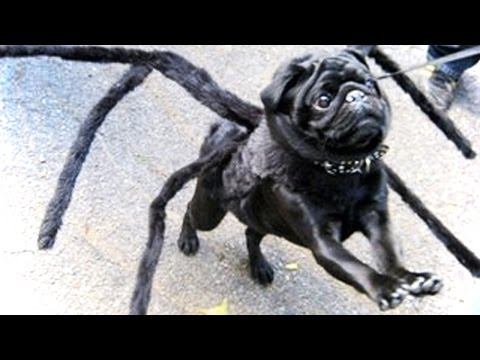 FUNNY Pugs ★ Funny AND Cute! (HD) [Funny Pets]