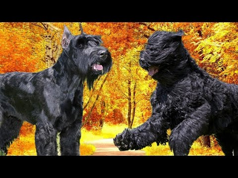 Giant Schnauzer vs Black Russian Terrier   Highlights