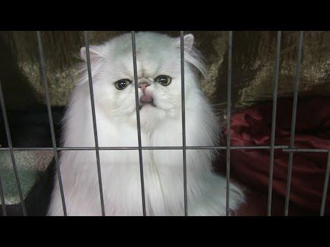 CFA Malibu Cat Club Show 2017 - Glendale, Ca