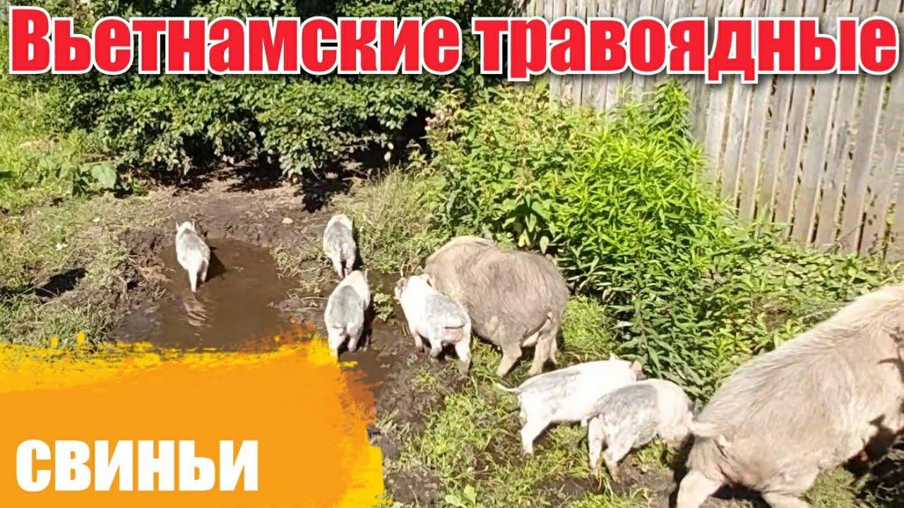 Вьетнамские травоядные свиньи  Содержание Вакцинация