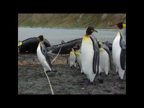 Pinguine vs Seil / Penguins vs. Cable