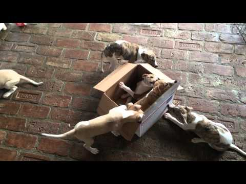Whippet puppies play in new box