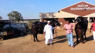 Jafarabadi buffalo from nasik maharashtra