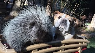 ジレンマとか感じないよ、だって自分犬やし。犬と共に暮らし犬化が進んだヤマアラシ