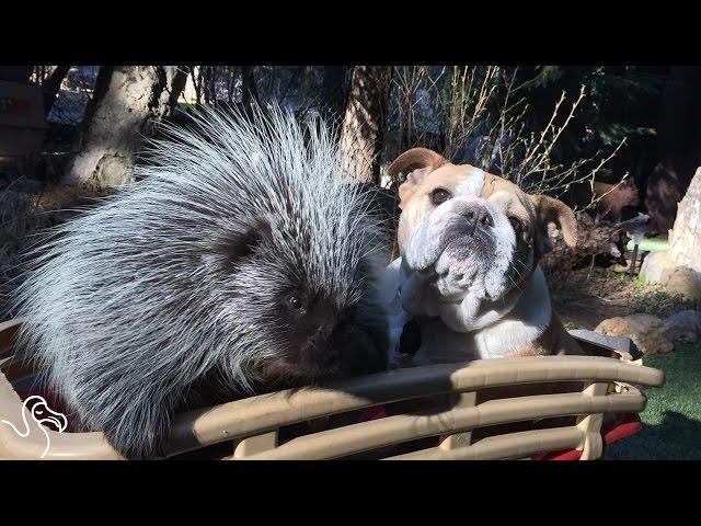 This Porcupine Has A Unique Family