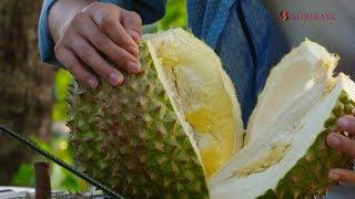 Nông nghiệp sạch số 225 - Sầu riêng Đắk Nông