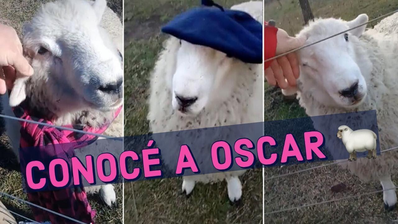 OSCAR! EL PROTAGONISTA DE LOS VIDEOS DEL MOMENTO 🐑