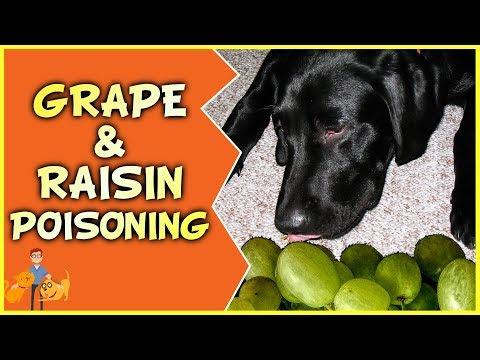 Raisin + Grape Poisoning In Dogs: How Many Will Kill?