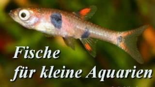 Fische für Kleinaquarien (Nano-Aquarien) 1. Teil