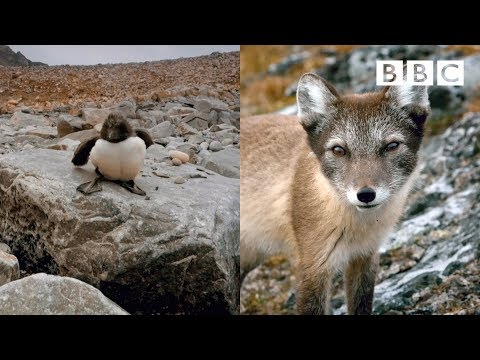 Artic Fox SHUT DOWN by bravest Guillemot Chick in the world | Spy In The Wild - BBC