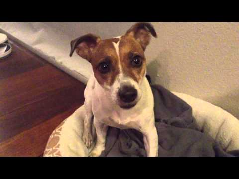 dental-health-for-dogs:-jack-russell-gets-a-vegetarian-teeth-cleaning-chew-treat!