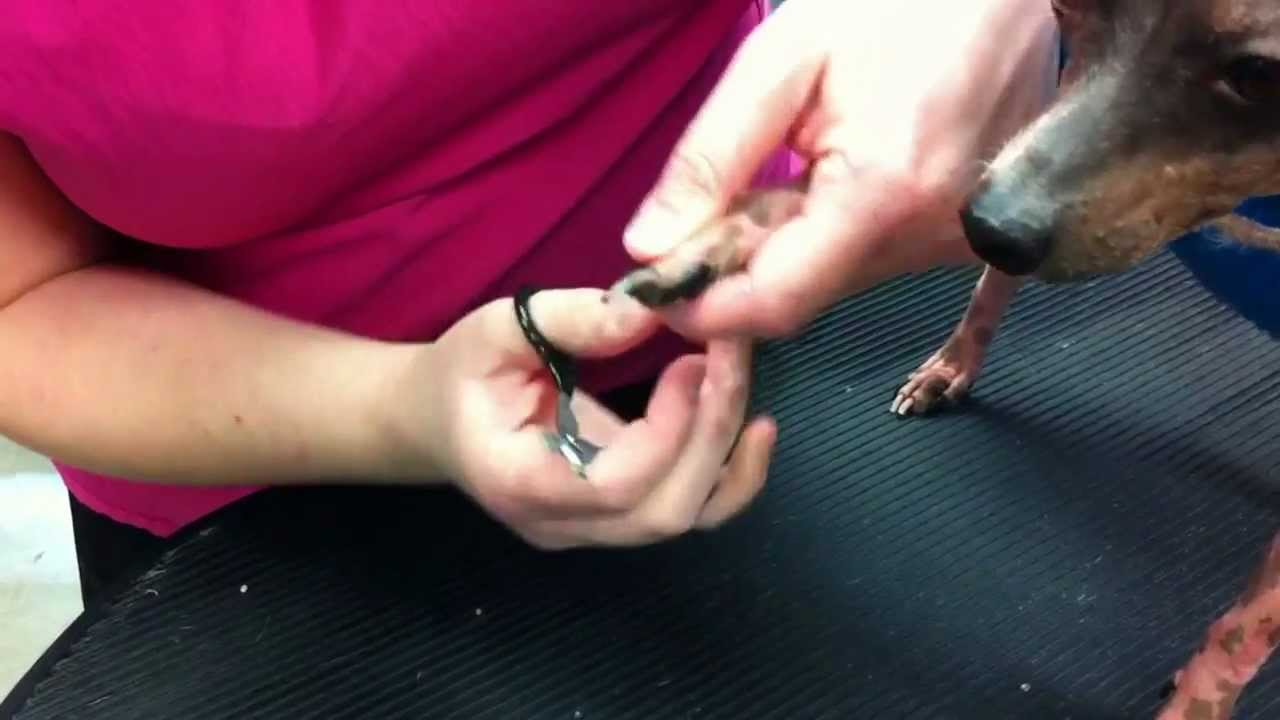 how to cut dogs nails youtube