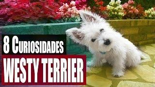 8 Curiosidades Interesantes del Westy Terrier