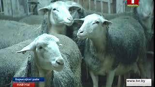 В Борисовском районе развивают молочное овцеводство