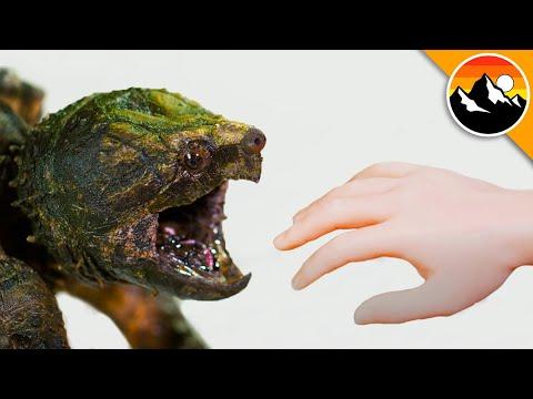 Download SNAPPER BITES Hand in Super Slow Motion!