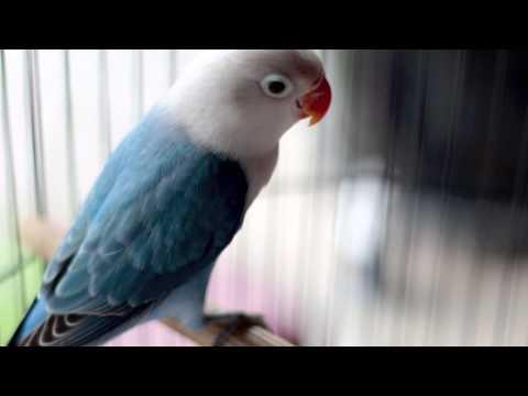 Budgie and lovebird body language | Doovi