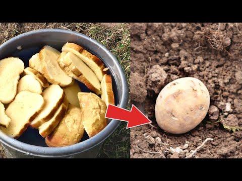 Картошка на этом