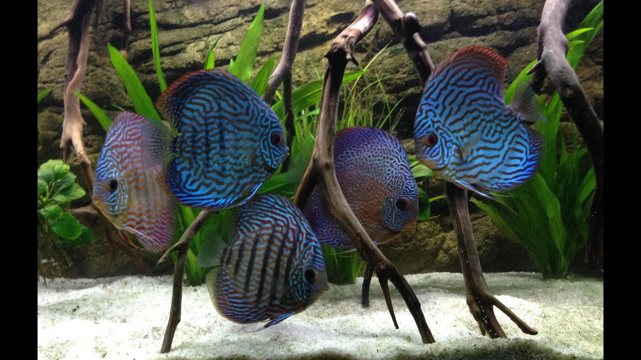 3d Fish Tank Wallpaper 55g Discus Tank Youtube