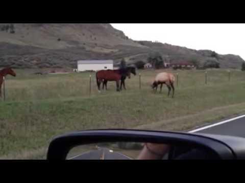 1 Elk vs. 2 Horses