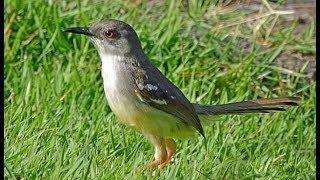 Cara menjinakan burung ciblek hasil tangkapan hutan