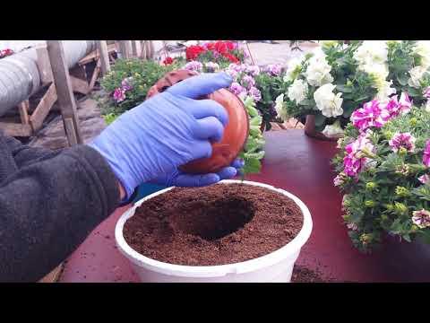 Чем заправить кашпо для пышного цветения?