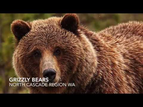 Large Predator Conservation Washington state