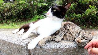 キジトラ猫と遊んでいたら、嫉妬深いハチワレ猫が割り込んで甘えてきた